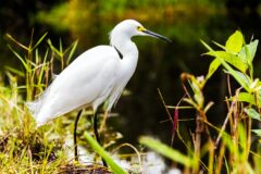 an egret in the everglades